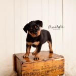 Clyde | 8 weeks new {Peoria Illinois Bloomington Illinois Puppy Photographer}